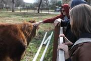 Petting a cow!