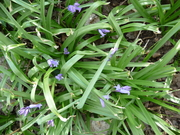 early bluebells