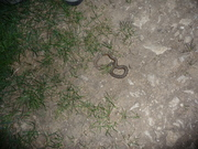 young adder by road