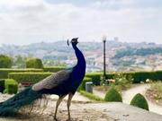 A peacock in Porto