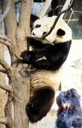 Captain Bootsie's conversation  with a Giant Panda