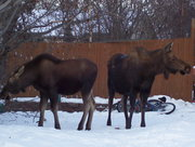 baby moose twins