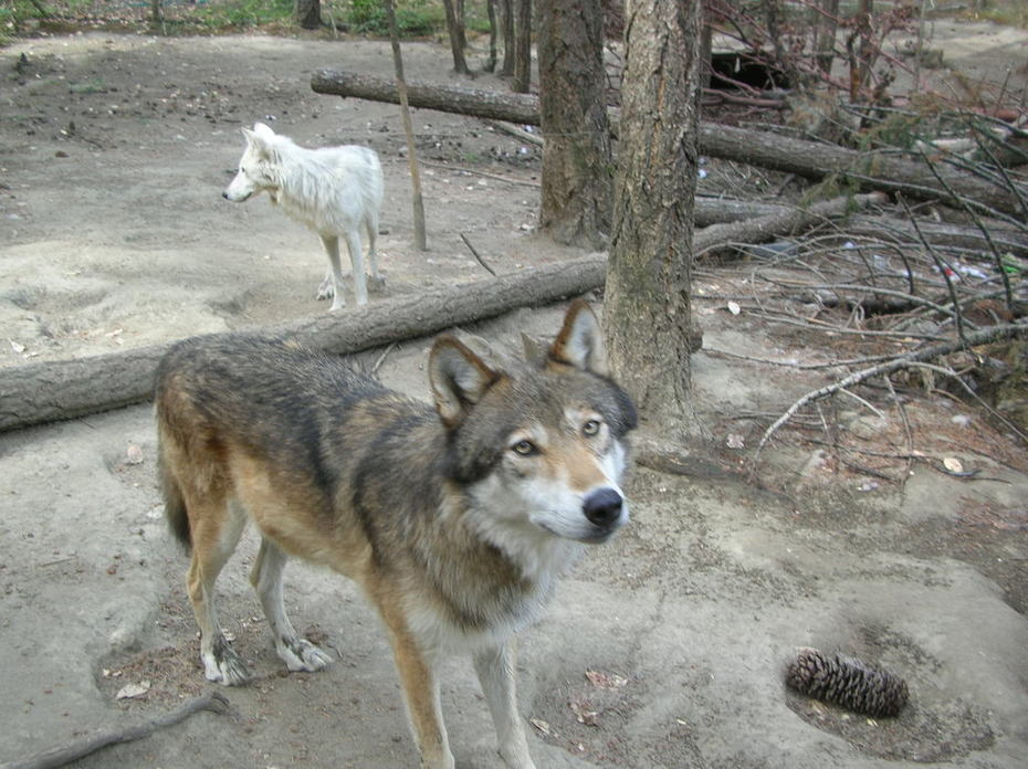 A couple rescued wolves