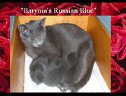 Cute Russian blu kitties