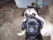 Welcome our new pug Chip