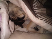 cheeky little pug in our bed
