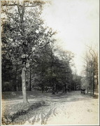 Early Automobile and Beech Trees