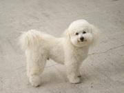 Meet Mr. Pierre, My Toy Poodle.
