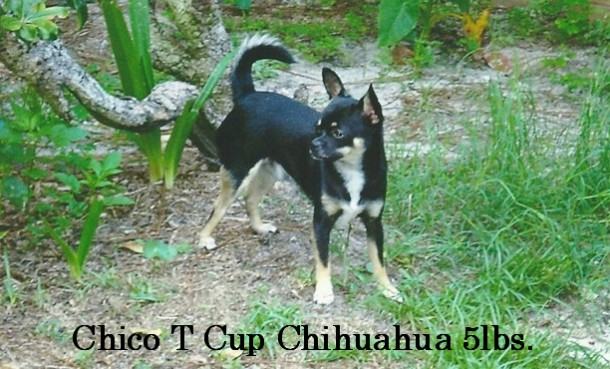 """ Mr.Chico, My T Cup Chihuahua"""