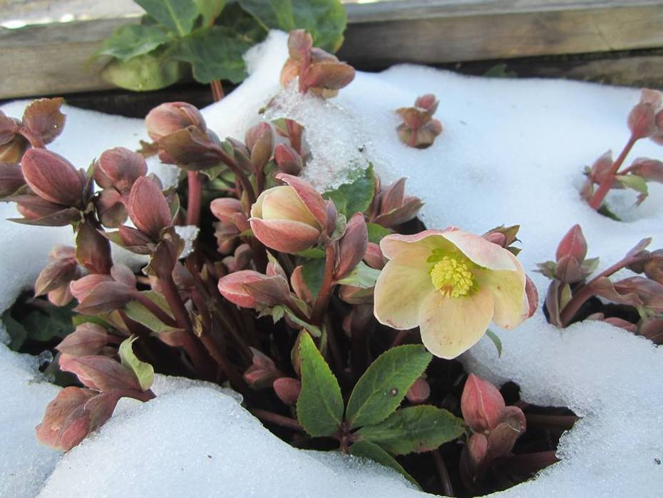 helleborus-with-snow