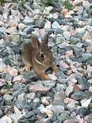 Shed Baby Bunny 2019- dude is 4 inches long at best(4Perspective-those are CLOVER Leaves around him)