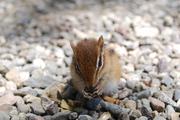 A little chipmunk baby