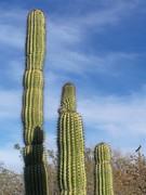 Cactus Family