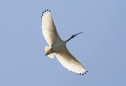 wonderful ibis in flight