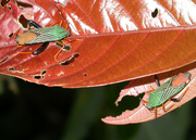 Red leaves and green bugs