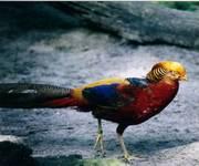 Rainbow_Pheasant_1