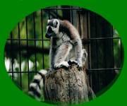 RingTailed_Lemur_1