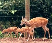 WhiteTailed_Deer_1