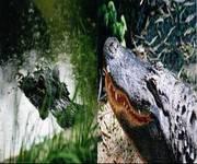 Crocodile_American_Alligator_1