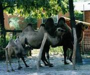 Bactrian_Camel_1