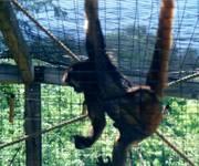 Spider_Monkey_1