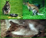 Wallaby_1