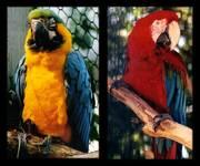 Macaw_1