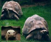 Galopos Turtle_1