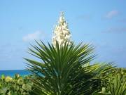 Flowering Palm Tree at Jupiter Beach, FL