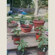 My Peppers