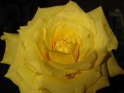 Y-Rose
