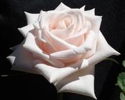 P-Rose
