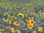 Sunflowerfest Gorman Farm