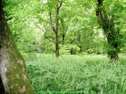Standing next to an Ash Tree where I took video for a song 25 May 2012