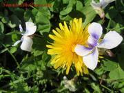 Little purple and white flower looks like butterfly landing on dandelion