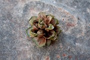 IMG_5021_miniature_pine_cone