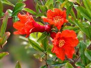 pom flowers