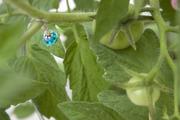 My Tomato Plant 2