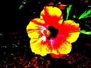 Extreme hibiscus