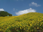 Wild Sunflower - Maehongson