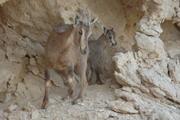 Tahr árabe - fêmea com filhote