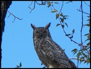 2009 june mother great horned owl