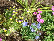 Petunias,Violas, Balloon Flowers, oh my