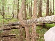 Tree at the Lava Tubes, WA '09