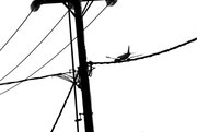 """Bird"" on the wire"