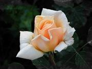 yellow rose..