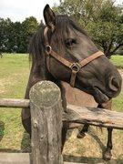 Polish Domestic Horse Breed (Konik Polski)