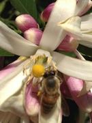 Bees pollinating lemon tree