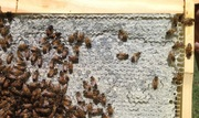 July 11 2015 Hive Inspection