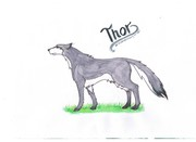 Thor the Wolf